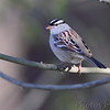 White-crowned Sparrow <br /> Two Rivers National Wildlife Refuge, Illinois