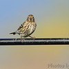 Pine Siskin <br /> Behind visitors center <br /> Riverlands Migratory Bird Sanctuary