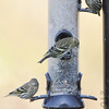 Pine Siskins <br /> Behind visitors center <br /> Riverlands Migratory Bird Sanctuary