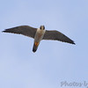 Peregrine Falcon <br /> Heron Pond parking lot flyover <br /> Riverlands Migratory Bird Sanctuary