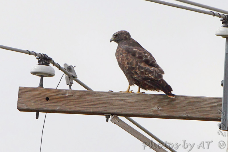 Red-tailed Hawk (Western - Dark-morph) <br /> Natural Bridge Road <br /> just west of Fee Fee Rd. <br /> Bridgeton, Mo.