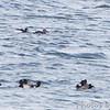 Surf Scoters <br /> Ellis Bay <br /> Riverlands Migratory Bird Sanctuary