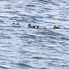 Surf Scoters <br /> and Gadwall <br /> Ellis Bay <br /> Riverlands Migratory Bird Sanctuary