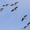 American White Pelicans <br /> Riverlands Migratory Bird Sanctuary