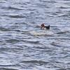 Redhead <br /> Riverlands Migratory Bird Sanctuary