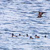 Surf Scoters <br /> and Lesser Scaup <br /> Ellis Bay <br /> Riverlands Migratory Bird Sanctuary