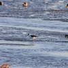 Black-necked Stilt <br /> Heron Pond <br /> Riverlands Migratory Bird Sanctuary