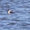 Common Loon <br /> Ellis Bay <br /> Riverlands Migratory Bird Sanctuary