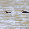 American Black Ducks <br /> Teal Pond <br /> Riverlands Migratory Bird Sanctuary