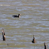 Greater White-fronted Goose <br /> Teal Pond <br /> Riverlands Migratory Bird Sanctuary