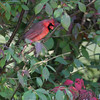 Northern Cardinal <br /> City of Bridgeton <br /> St. Louis County, Missouri <br /> 10/15/2012