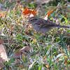 Chipping Sparrow <br /> City of Bridgeton <br /> St. Louis County, Missouri <br /> 10/15/2012