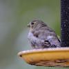 American Goldfinch <br /> City of Bridgeton <br /> St. Louis County, Missouri <br /> 10/19/2012