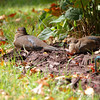 Mourning Doves <br /> City of Bridgeton <br /> St. Louis County, Missouri <br /> 10/15/2012