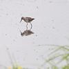 Stilt Sandpipers <br /> Heron Pond <br /> Riverlands Migratory Bird Sanctuary