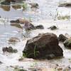Spotted Sandpiper <br /> Teal Pond <br /> Riverlands Migratory Bird Sanctuary