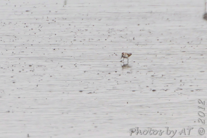 Western Sandpiper <br /> Heron Pond <br /> Riverlands Migratory Bird Sanctuary