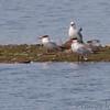Caspian Terns (adult and juvenile) <br /> Riverlands Migratory Bird Sanctuary