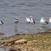 American Avocet <br /> Teal Pond <br /> Riverlands Migratory Bird Sanctuary
