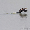 Double-crested Cormorant <br /> Teal Pond <br /> Riverlands Migratory Bird Sanctuary