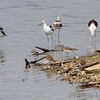 American Avocet <br /> and Killdeer <br /> Teal Pond <br /> Riverlands Migratory Bird Sanctuary