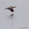 Double-crested Cormorant <br /> Teal Pond <br /> Riverlands Migratory Bird Sanctuary