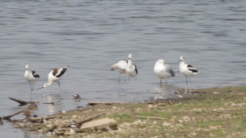 "American Avocet  <br> Teal Pond  <br> Riverlands Migratory Bird Sanctuary<br><br><span class=""noShowSmart""> <a href=""/MyKeywords/Bird-Videos/n-gF9bt/i-PX5mD7N/A""> <span style=""color:yellow"">Click here to open video in lightbox/full screen</span></a> <br><br></span>  <span class=""noShowGallery""> <a href=""/Birds/Birding-2012-September/2012-09-06-RMBS/i-PX5mD7N/A""> <span style=""color:yellow"">Click here to open video in lightbox/full screen</span></a> </span>"