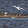 Caspian Terns <br /> Teal Pond <br /> Riverlands Migratory Bird Sanctuary