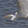 Great Egret <br /> Teal Pond <br /> Riverlands Migratory Bird Sanctuary
