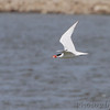 Caspian Tern <br /> Teal Pond <br /> Riverlands Migratory Bird Sanctuary