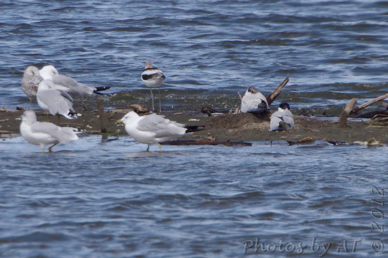 American Avocet and Caspian Terns <br /> Teal Pond <br /> Riverlands Migratory Bird Sanctuary
