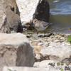 Baird's Sandpiper <br /> Teal Pond <br /> Riverlands Migratory Bird Sanctuary
