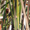 Palm Warbler <br /> Saline Valley Conservation Area