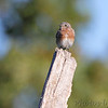 Eastern Bluebird <br /> Lake of the Ozarks