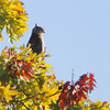 Sharp-shinned Hawk <br /> Lake of the Ozarks