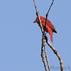 Summer Tanager <br /> Lake of the Ozarks