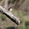 Eastern Phoebe <br /> Lake of the Ozarks