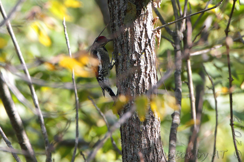 Yellow-bellied Sapsucker <br /> Lake of the Ozarks