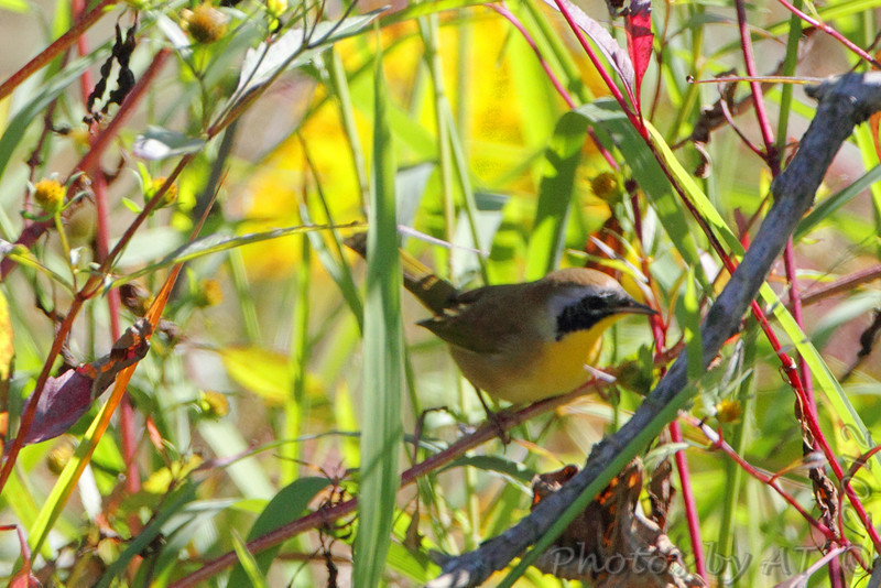 Common Yellowthroat <br /> Saline Valley Conservation Area