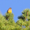 Eastern Meadowlark <br /> Lake of the Ozarks