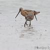 Hudsonian and Marbled Godwit <br /> Heron Pond <br /> Riverlands Migratory Bird Sanctuary