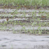 American Pipits <br /> Heron Pond <br /> Riverlands Migratory Bird Sanctuary