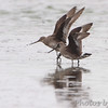 Hudsonian Godwits <br /> Heron Pond <br /> Riverlands Migratory Bird Sanctuary