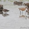Hudsonian (3) and Marbled Godwit <br /> Heron Pond <br /> Riverlands Migratory Bird Sanctuary