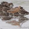 Hudsonian (2) and Marbled Godwit <br /> Heron Pond <br /> Riverlands Migratory Bird Sanctuary