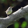 House Wren <br /> Columbia Bottom Conservation Area