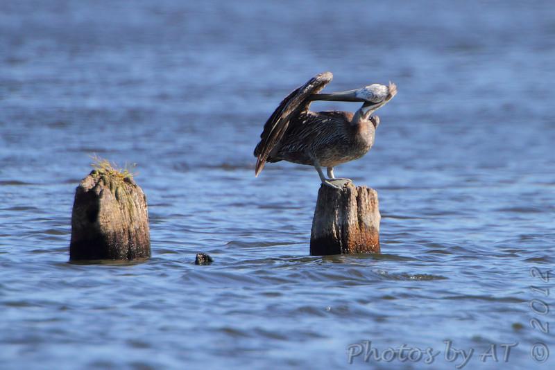 Brown Pelican <br /> Binder Lake Jefferson City