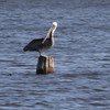 "Brown Pelican <br> Binder Lake Jefferson City <br><br><span class=""noShowSmart""> <a href=""/MyKeywords/Bird-Videos/n-gF9bt/i-JvfLSDL/A""> <span style=""color:yellow"">Click here to open video in lightbox/full screen</span></a> <br><br></span>  <span class=""noShowGallery""> <a href=""/Birds/Birding-2012-September/2012-09-21-Binder-Lake/i-JvfLSDL/A""> <span style=""color:yellow"">Click here to open video in lightbox/full screen</span></a> </span>"