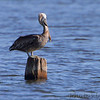 Brown Pelican <br /> Binder Lake Jefferson City