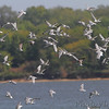 Franklin's Gulls <br /> Smithville Lake